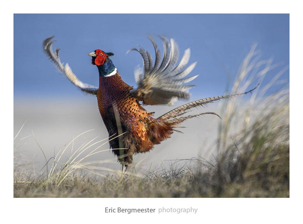 Fazant, Texel, Eric Bergmeester Photography
