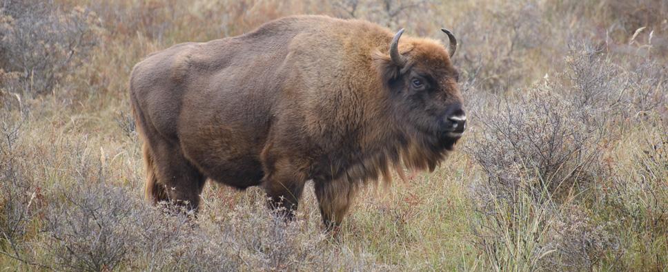 Geniet van buiten zijn. European Bison
