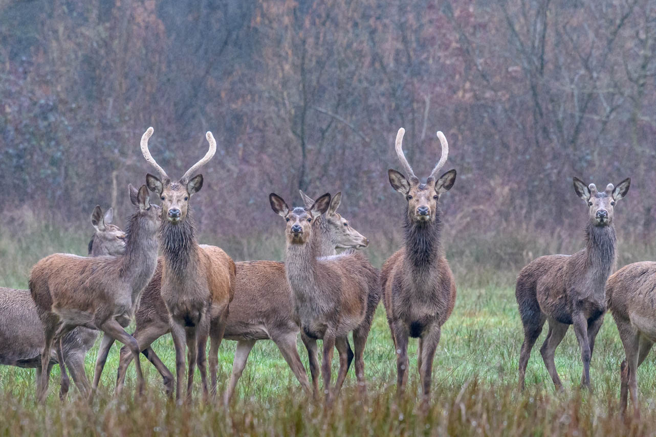 Edelherten in Het Groene Woud.
